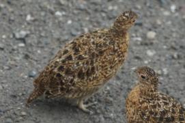 Alaskan State Bird, ptarmigan